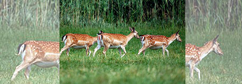 Teglskovens Hunting - jagtrejser til England - hundyrs jagt